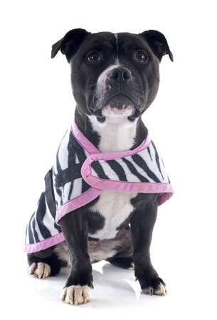 portrait of a staffordshire bull terrier withe coat in front of white background Stock Photo - 18257735