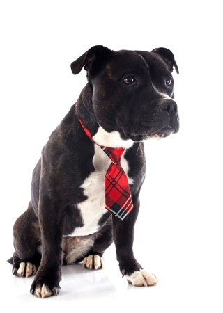 portrait of a staffordshire bull terrier with tie in front of white background photo