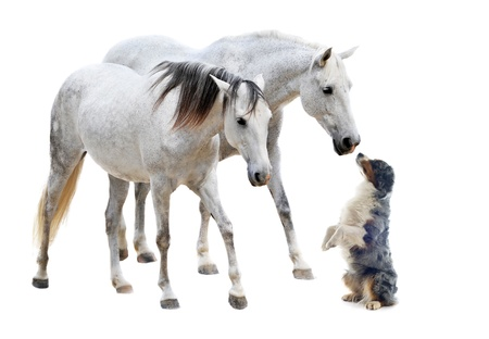 two camargues horses and australian sheepdog in front of white background