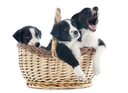 yawing: portrait of puppies border collies in a basket in front of white background Stock Photo