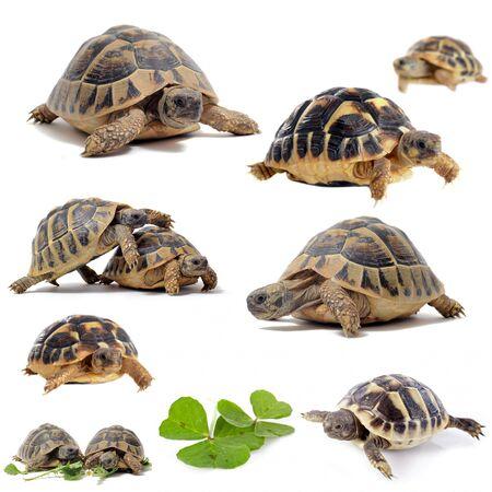 tortuga: grupo de Testudo hermanni tortugas sobre un fondo blanco aislado Foto de archivo