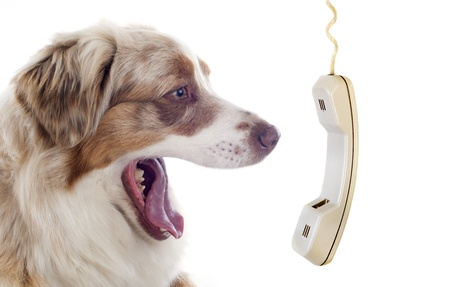 dog teeth: purebred australian shepherd  phoning, in front of white background Stock Photo