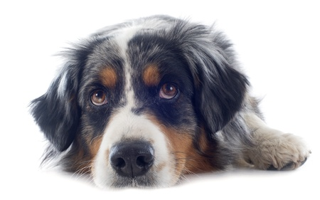 sad dog: purebred australian shepherd  in front of white background