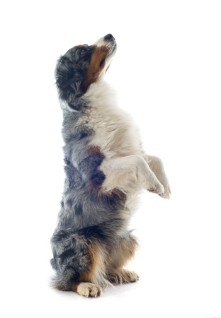 australian shepherd: purebred australian shepherd standing on his hind legs Stock Photo