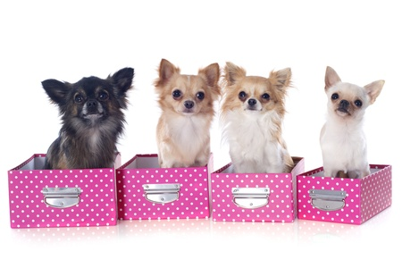 portrait of a cute purebred  chihuahuas in box  in front of white background Stock Photo - 18839538