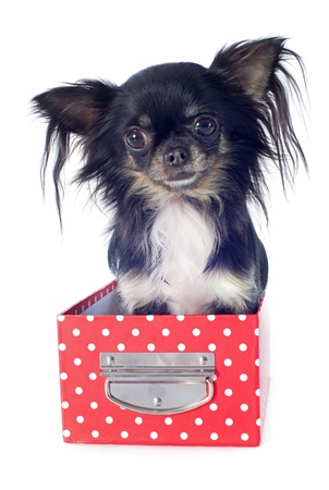 portrait of a cute purebred  chihuahua in box  in front of white background Stock Photo - 18839652