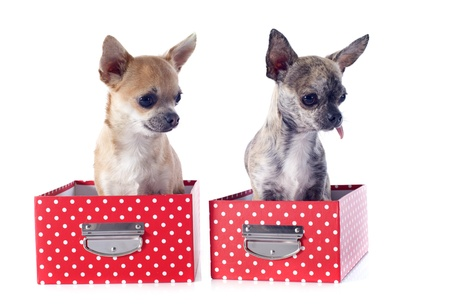 portrait of a cute purebred  chihuahuas in box  in front of white background Stock Photo - 18839296