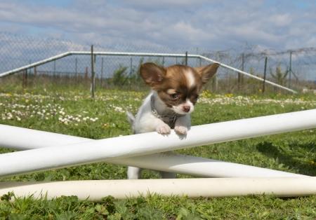 obediencia: retrato de un lindo cachorro de pura raza chihuahua en un entrenamiento de la agilidad