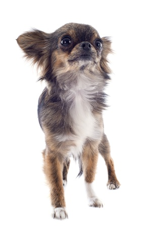 brindle: portrait of a cute purebred  brindle chihuahua in front of white background Stock Photo