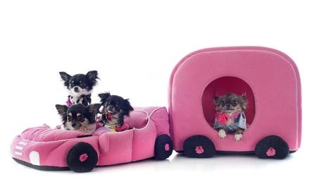 perros vestidos: retrato de un pura raza chihuahua lindo en coche y caravana delante de fondo blanco