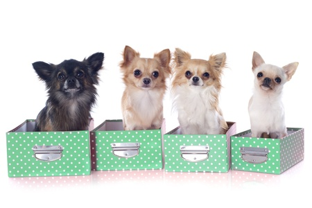 portrait of a cute purebred  chihuahuas in box  in front of white background Stock Photo - 19135777