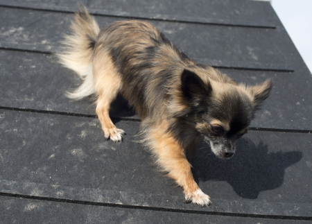 portrait of a cute purebred chihuahua in a training of agility Stock Photo - 19140334
