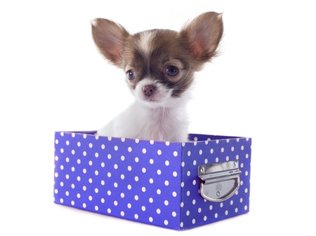 portrait of a cute purebred  chihuahuas in box  in front of white background Stock Photo - 19140083