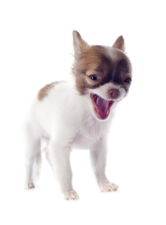 yawing: portrait of a barking  puppy chihuahua in front of white background