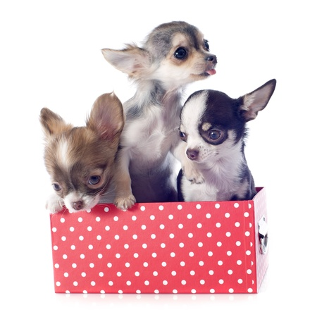 portrait of a cute purebred  puppies chihuahuas in box  in front of white background Stock Photo - 19140333