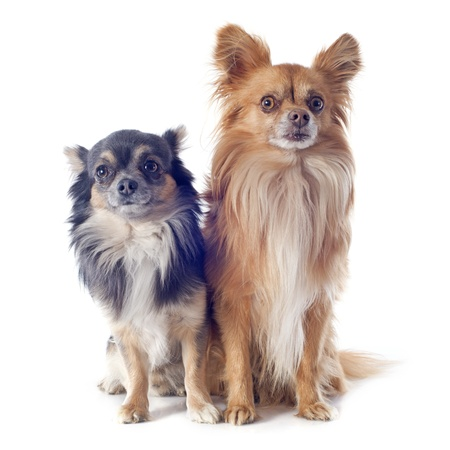portrait of a cute purebred  chihuahuas in front of white background Stock Photo - 19140340