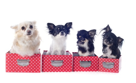 portrait of a cute purebred  chihuahuas in box  in front of white background Stock Photo - 19140195