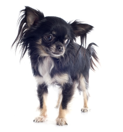 portrait of a cute purebred  puppy chihuahua in front of white background Stock Photo - 19140338