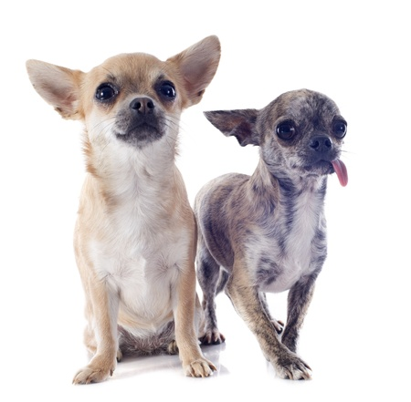 portrait of a cute purebred  chihuahuas in front of white background Stock Photo - 19140345