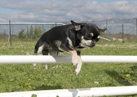 obediencia: retrato de un pura raza chihuahua linda en un entrenamiento de la agilidad