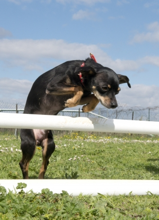 purebred miniature pinscher in a training of agiity Stock Photo - 19140347