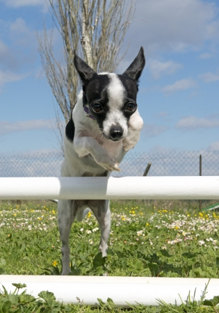 portrait of a cute purebred chihuahua in a training of agility Stock Photo - 19140342