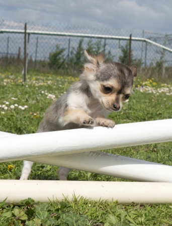 portrait of a cute puppy chihuahua in a training of agility Stock Photo - 19140346