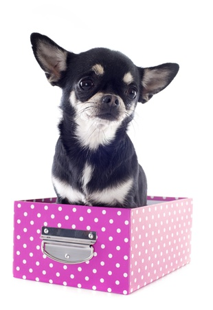 portrait of a cute purebred  chihuahua in box  in front of white background Stock Photo - 19140213