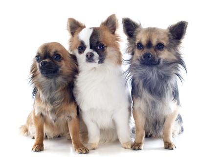portrait of a cute purebred  chihuahuas in front of white background Stock Photo - 19140344