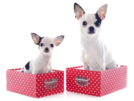 portrait of a cute purebred  chihuahuas in box  in front of white background photo