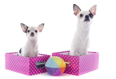 portrait of a cute purebred  chihuahuas in box  in front of white background Stock Photo - 19140106