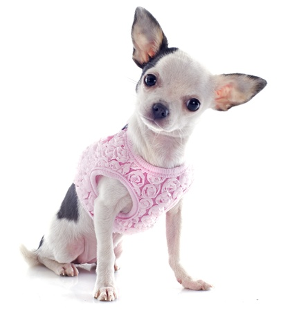 short hair dog: portrait of a cute purebred  puppy chihuahua with a coat in front of white background Stock Photo