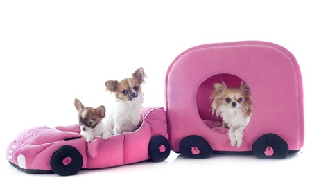 portrait of a cute purebred chihuahua in car and caravan in front of white background photo