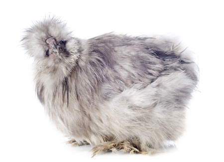 A small bantam silkie on a white background Stock Photo - 19140339