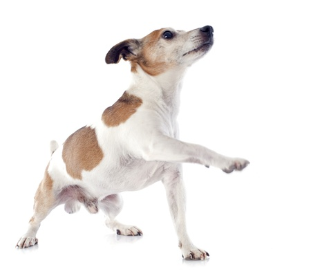 upright: portrait of a purebred jack russel terrier in studio