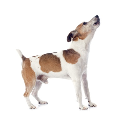 portrait of a barking jack russel terrier in studio Stock Photo - 19140394