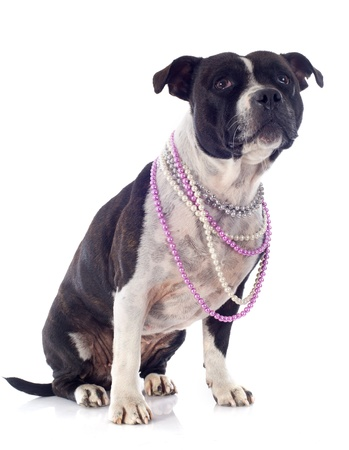 portrait of a staffordshire bull terrier and pearl collar in front of white background Stock Photo - 19140426