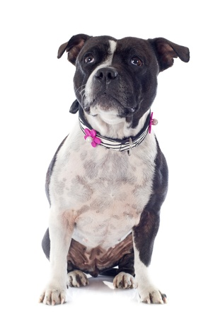 portrait of a staffordshire bull terrier in front of white background Stock Photo - 19140416