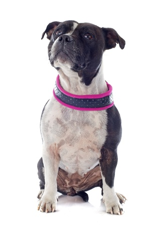 portrait of a staffordshire bull terrier in front of white background Stock Photo - 19140432