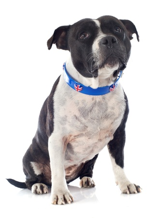 portrait of a staffordshire bull terrier with an english collar in front of white background Stock Photo - 19140429