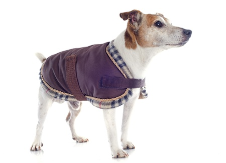 portrait of a purebred jack russel terrier with coat in studio Stock Photo - 19140413