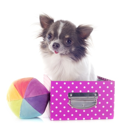 portrait of a cute purebred  chihuahua in box  in front of white background Stock Photo - 19140431