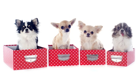 portrait of a cute purebred  chihuahuas in box  in front of white background Stock Photo - 19140420