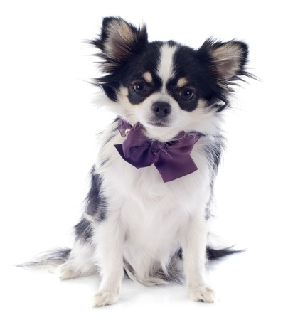 portrait of a cute purebred  puppy chihuahua in front of white background Stock Photo - 19140434
