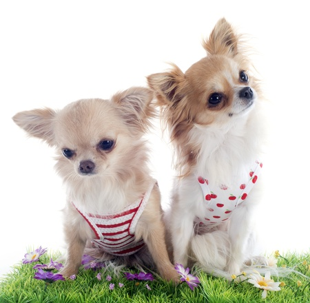 portrait of a cute purebred  puppies chihuahua in front of white background Stock Photo - 19140437