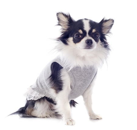 portrait of a cute purebred  dressed chihuahua in front of white background Stock Photo - 19151514