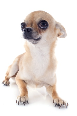 portrait of a cute purebred  puppy chihuahua in front of white background Stock Photo - 19151510