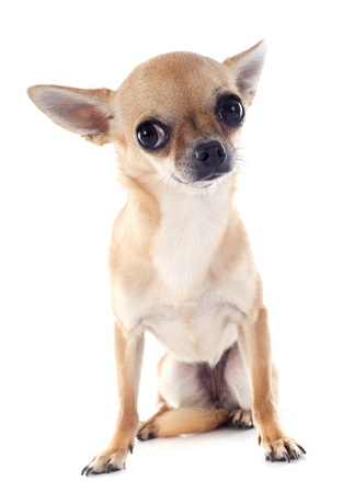 portrait of a cute purebred  puppy chihuahua in front of white background Stock Photo - 19151512