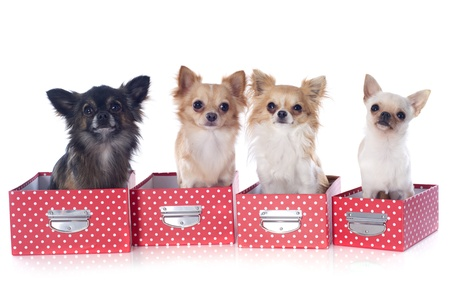 portrait of a cute purebred  chihuahuas in box  in front of white background Stock Photo - 19256089