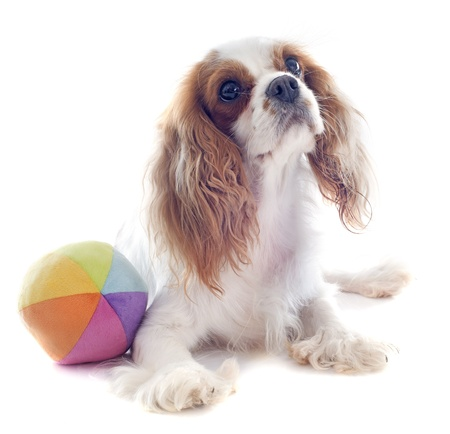 young blenheim cavalier king charles and his toy in front of white background Stock Photo - 19256100